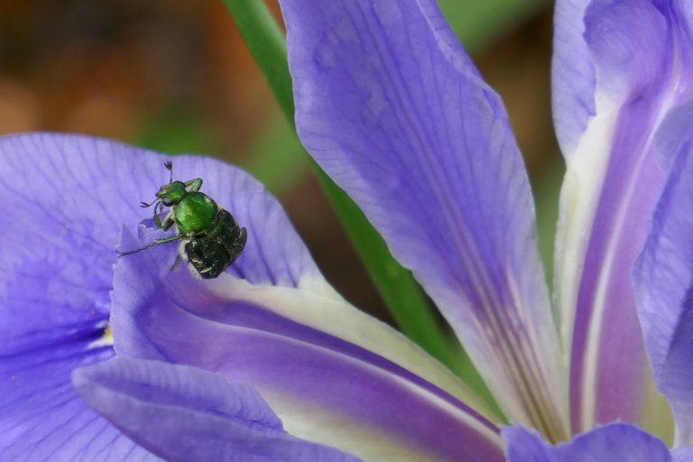 scarab beetle on a blue flag iris flower