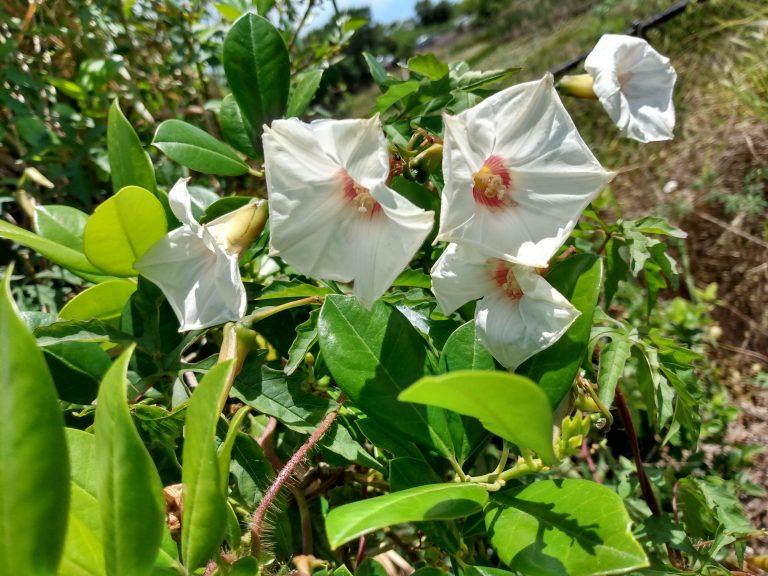 Noyau vine (Distimake dissectus) flowers