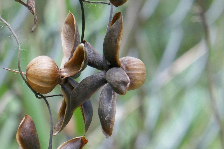 Noyau vine (Distimake dissectus) seed pods