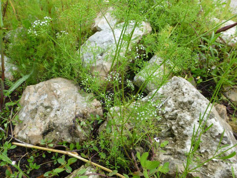 mock bishops weed (Ptilimnium capillaceum)