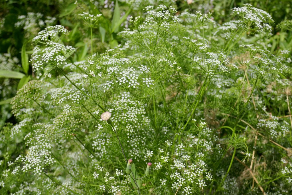 Mock Bishopsweed (Ptilimnium capillaceum)
