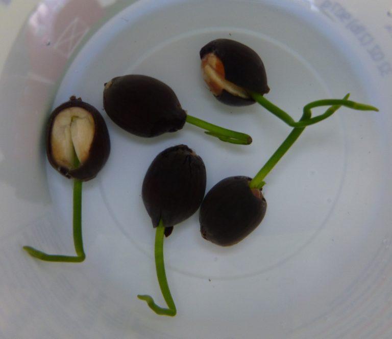 American Lotus (Nelumbo lutea) newly sprouted seeds
