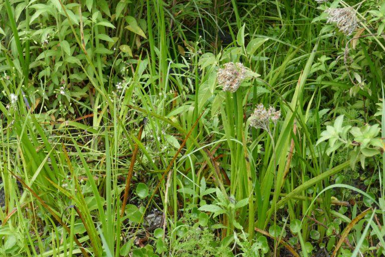 Carolina Redroot (Lachnanthes caroliana)